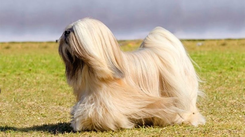 Understanding the Lhasa Apso Dog Breed