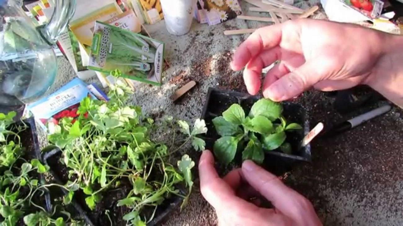germinate stevia seeds