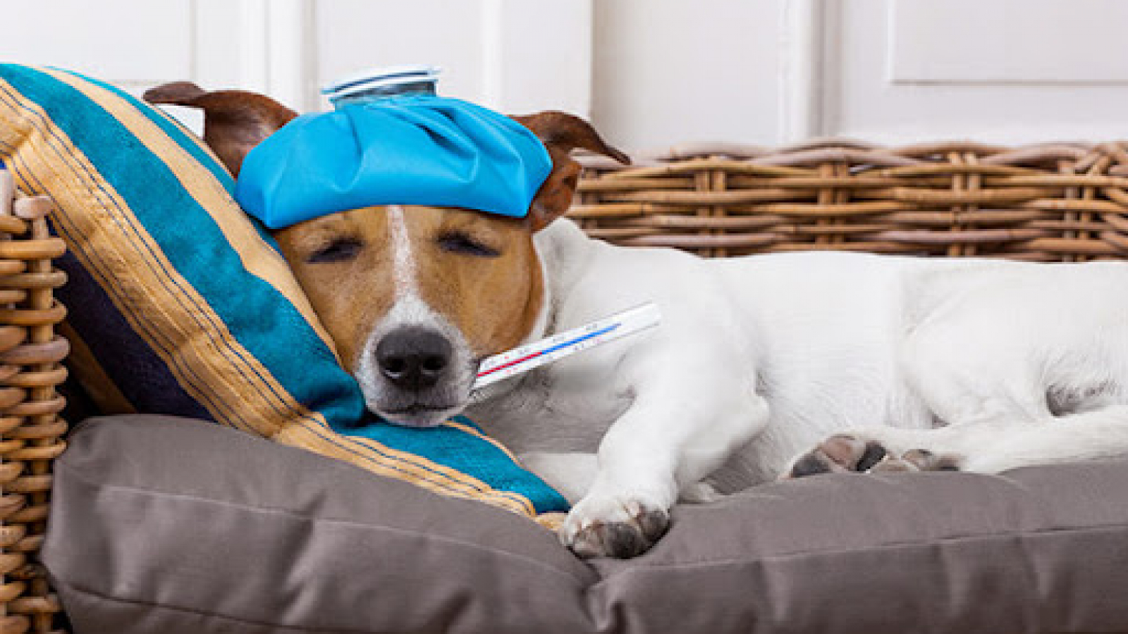 how to tell if dog has fever